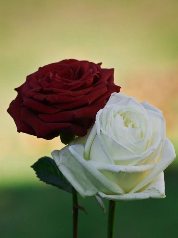 Rose Et Blanche : Rose rouge et blanche